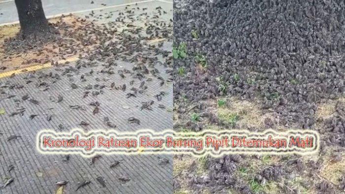 Kronologi Ratusan Ekor Burung Pipit Ditemukan MatiKronologi Ratusan Ekor Burung Pipit Ditemukan Mati